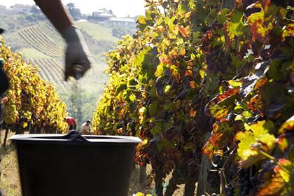 Vignoble Yves Cuilleron - appellation Condrieu
