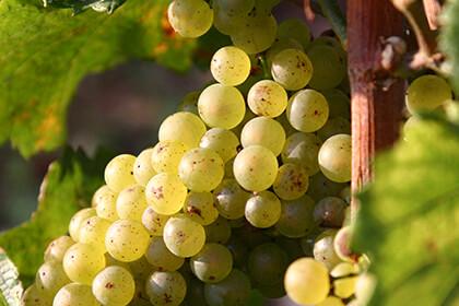 Montrachet wine by Domaine Jacques Prieur