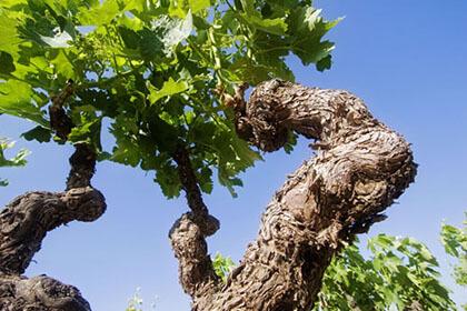 La Rioja vines