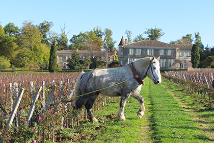 A draft horse in the vineyards of Saint-Emilion wine