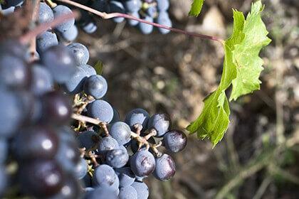 Cabernet Sauvignon grappe