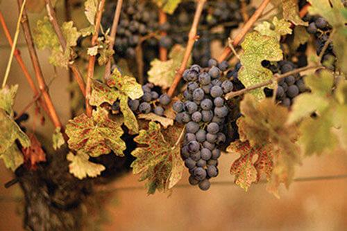 Grappes Cabernet Sauvignon – Monte Bello
