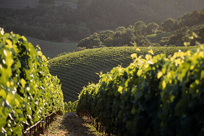 Harlan Estate vineyards, Cabernet Sauvignon vines