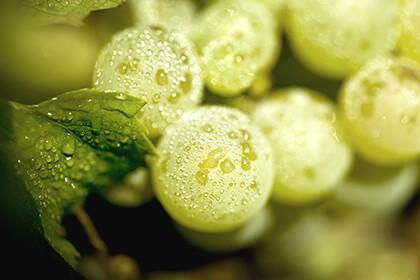 Cépage Chardonnay