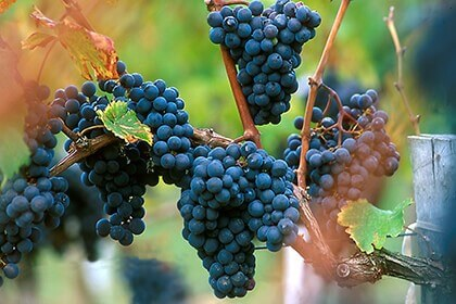 Merlot grapes, Merlot wine grapes