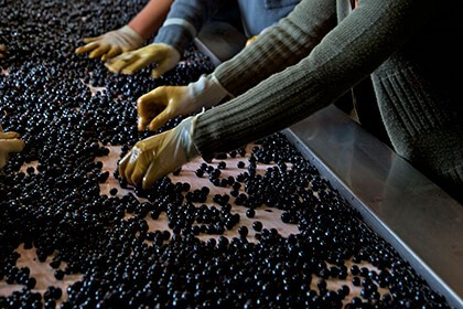Merlot grapes, Sorting grapes at Chateau Smith Haut Lafitte