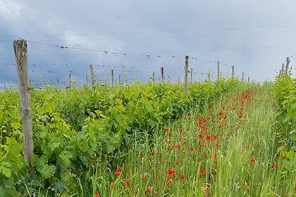 La Serena wine: vineyard