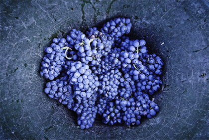 Domaine Meo-Camuzet grape harvest