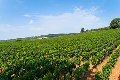 Maison Louis Jadot Bourgogne vignoble