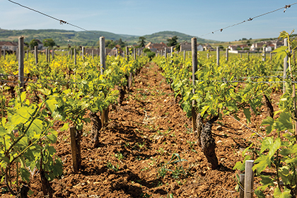 Domaine Leflaive biodynamic vineyard