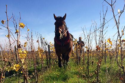 Domaine des Roches Neuves - Thierry Germain - cheval dans les vignes