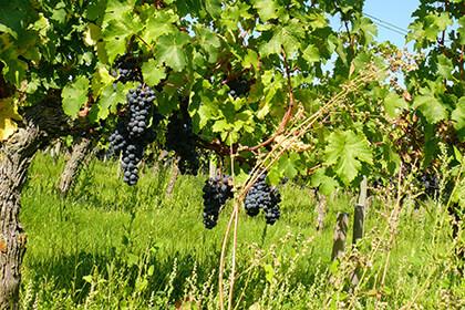 Domaine des Roches Neuves - Thierry Germain - vigne