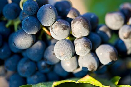 Grappe de raisins noirs © E.Guigal