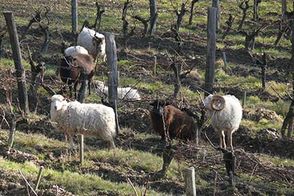 Nicolas Joly sheep in the vineyard