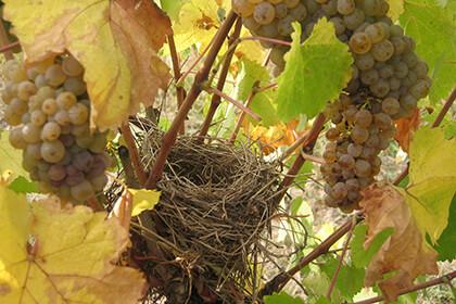 Nicolas Joly bird nest in the vines