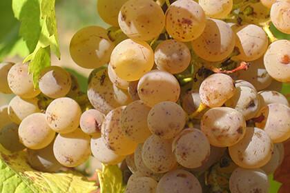 Nicolas Joly Chenin Blanc grapes