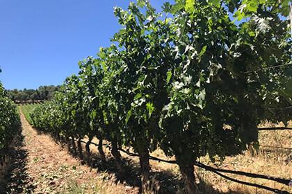 Colgin Cellars vineyard, Napa Valley