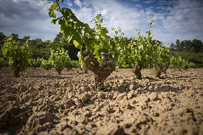 The Torres wine vineyard