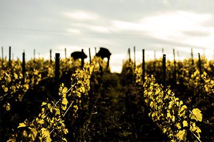 Bereche et Fils vineyard