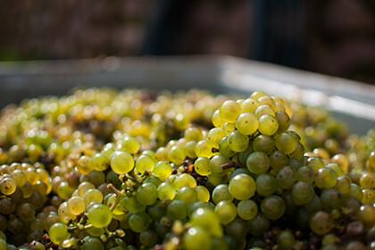 Streng selektierte Riesling Trauben als Grundlage der Molitor Weine