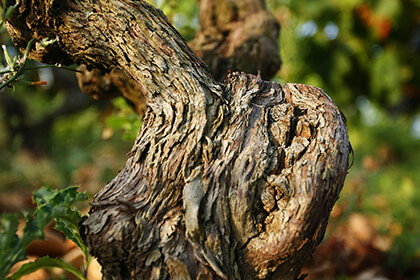 Cep de vigne en Vallée du Rhône méridionale
