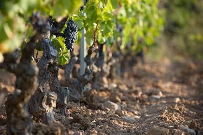Vignes du château de Pibarnon Bandol Provence