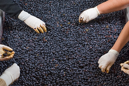 Chateau Pontet-Canet sorting