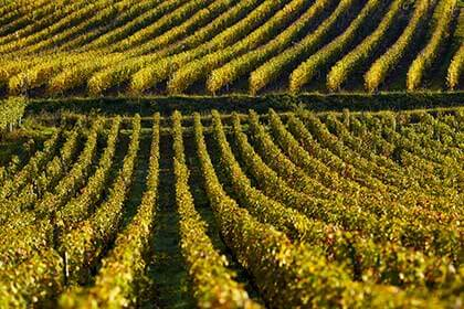 Burgundy vineyard, David Duband vineyard