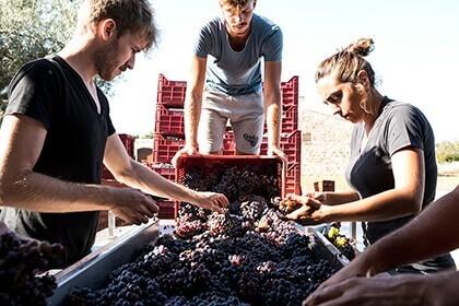 Arianna Occhipinti, natural wines, Harvest at Occhipinti