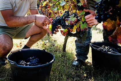 Vendanges des raisins dans la Vallée du Rhône