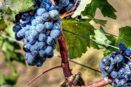 vins corses