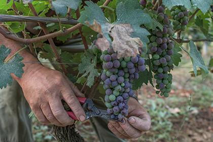Piedmont wine