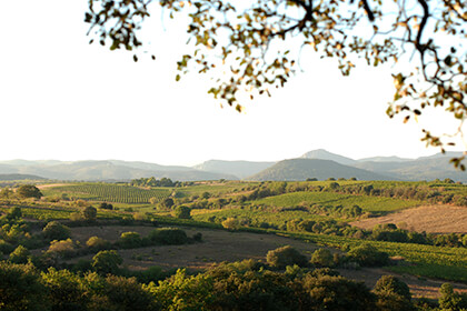 Vue des vignes Languedoc