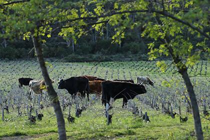 Troupeau de vaches dans les vignes domaine Léon Barral Faugères