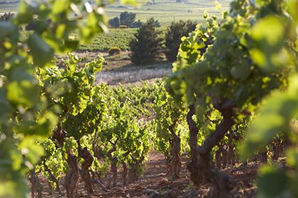 Vue des vignes Domaine de l'Ostal Minervois