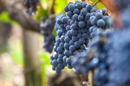 Bordeaux wines, Chateau Grand-Puy-Lacoste, Cabernet Sauvignon cluster